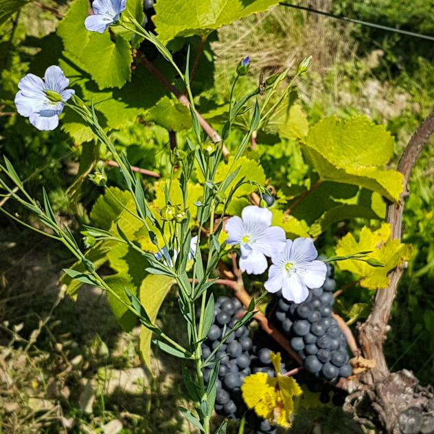 The care of the vineyard in biodynamics