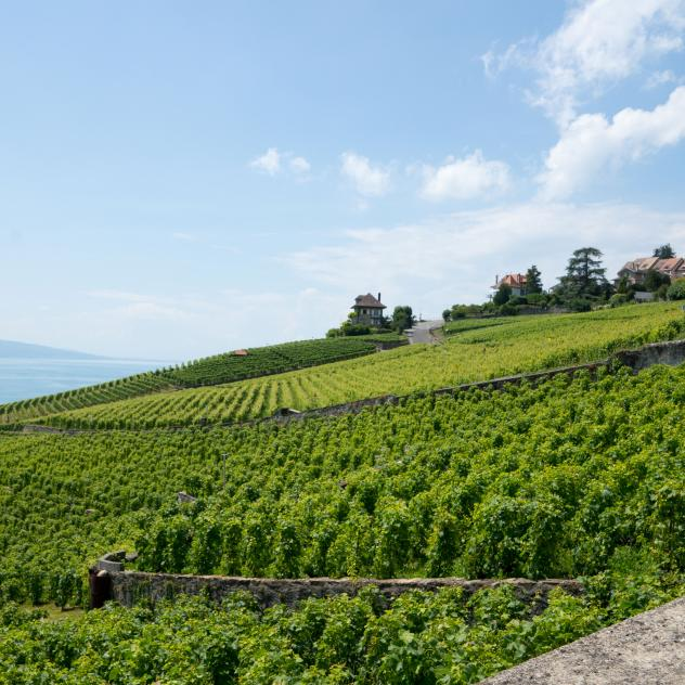 Vineyard walk through the terraces of Lavaux UNESCO