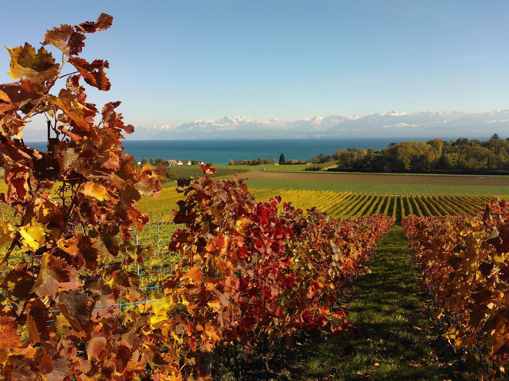 Parfum De Vigne Dully Genferseegebiet Schweiz