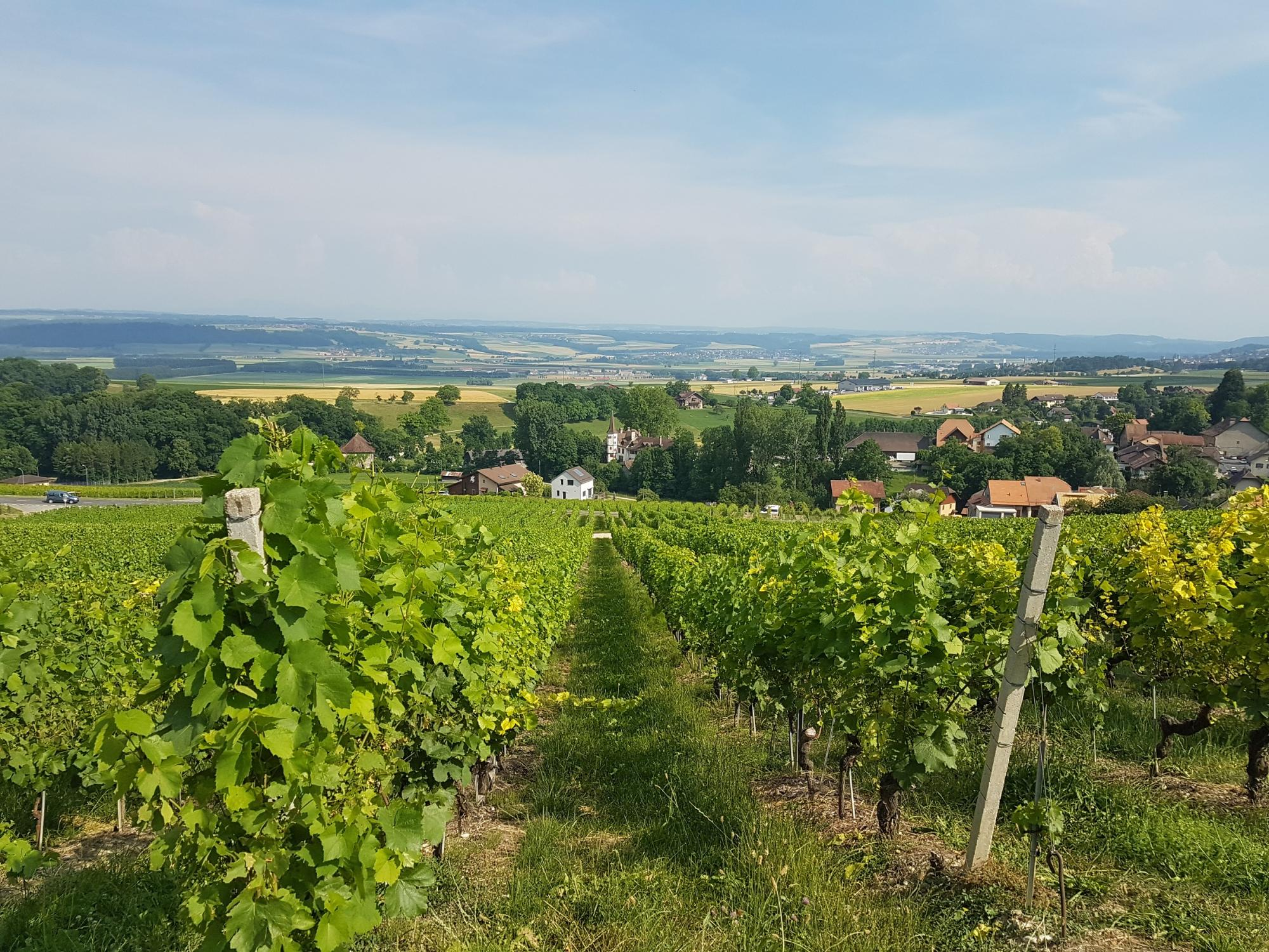 Wineyard Orbe