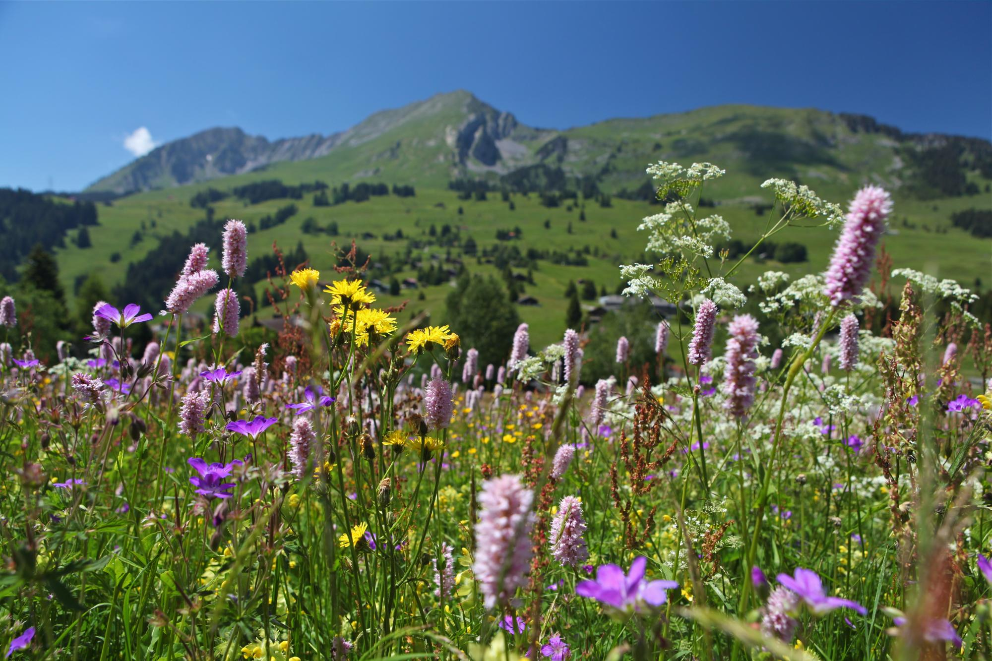 Regional Nature Park - flowers with mountains - summer - Les Mosses