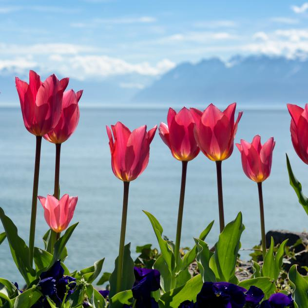 Support the Tulip Festival