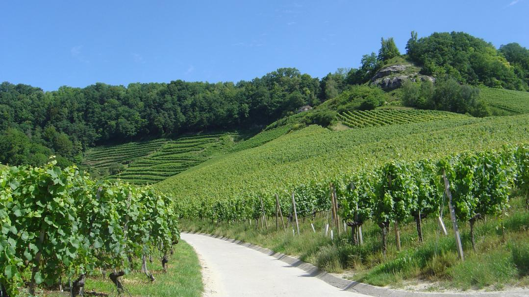 Vineyards and wines