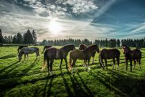 Horses in the fields, Franches-Montagnes