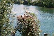 Stork at Aare river